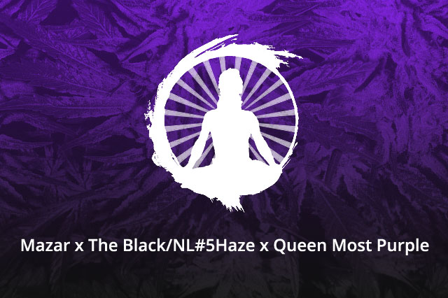 Mazar x The Black/NL#5Haze x Queen Most Purple