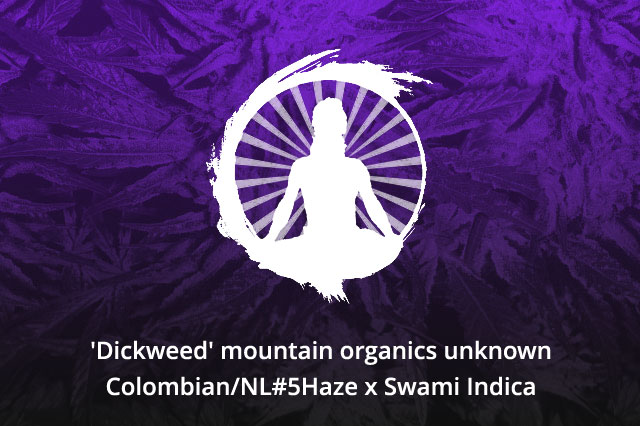'Dickweed' mountain organics unknown Colombian/NL#5Haze x Swami Indica